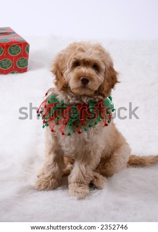 Holiday photo of a labradoodle