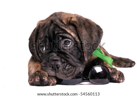 Holiday time - Puppy is packing his sunglasses - stock photo