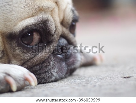 holiday vacation activity of a lovely happy white fat cute pug dog under warm summer sunlight making funny face with home outdoor surrounding bokeh background