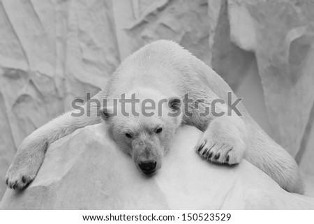 Holidaymaker polar bear closeup - stock photo