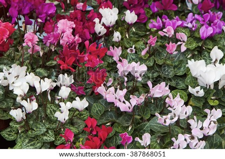 Holland, Amsterdam, cyclamen plants for sale in a local market - stock photo