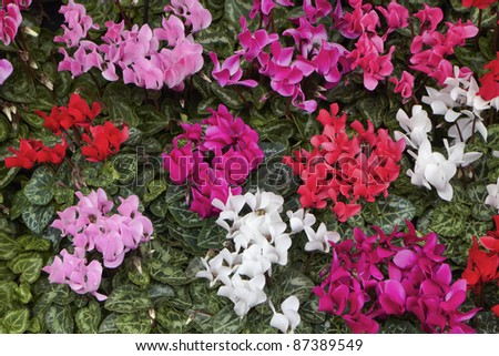 Holland, Amsterdam, Flowers Market, cyclamens for sale - stock photo