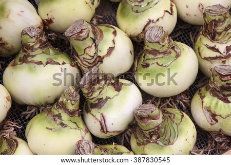 Holland, Amsterdam, Flowers Market, tulip bulbs (Amaryllis) for sale - stock photo