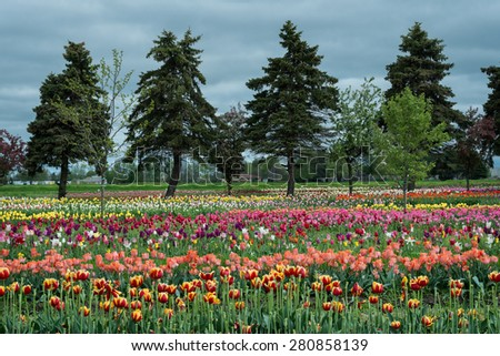 HOLLAND, MICHIGAN - MAY 13: Veldheer Tulip Gardens off Quincy Street on May 13, 2015 in Holland, Michigan  - stock photo