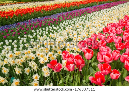 holland tulip and daffodil flowers  striped field - stock photo