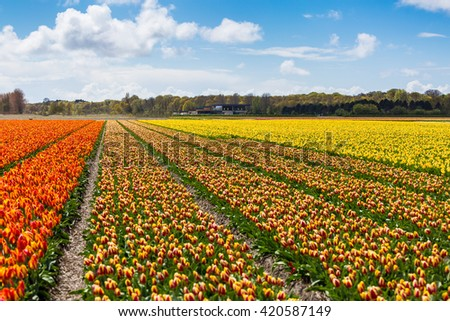 Holland, Tulip fields