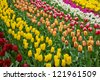 holland tulips field in Keukenhof garden, Holland - stock photo
