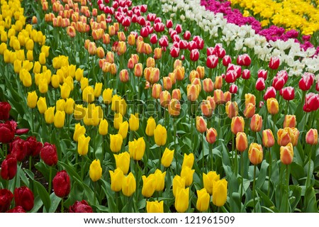 holland tulips field in Keukenhof garden, Holland - stock photo