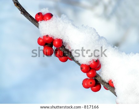 Holly Berries and Snow - stock photo