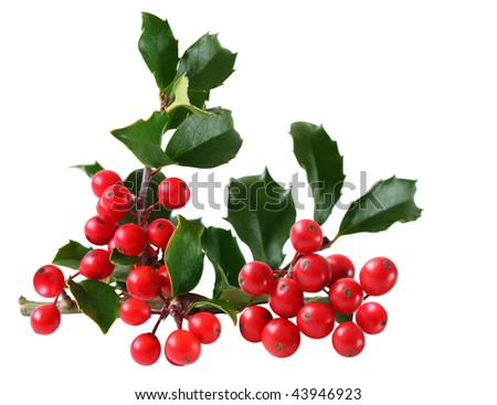 Holly Berry and Leaves isolated on white background - stock photo