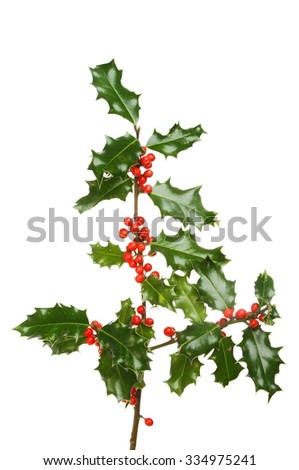 Holly branch with numerous red berries isolated against white - stock photo
