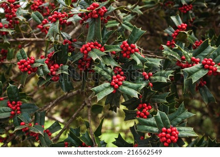 Holly bush with bright red berries close up - stock photo