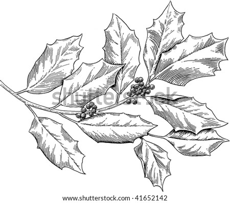 Holly, engraved style, b/w - stock photo
