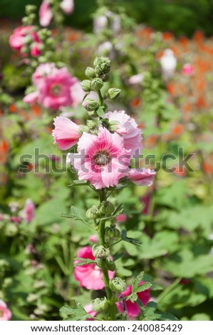 Holly Hock flowers (Hollyhock) pink In the garden ,vintage retro pastel style Soft background with sun light. - stock photo