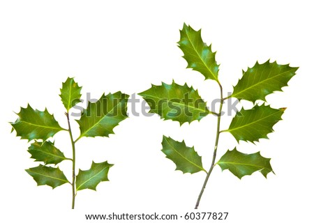 Holly leaves isolated on a white background - stock photo