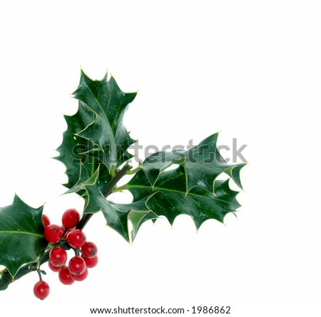Holly, of all the trees that are in the wood the Holly bears the Crown. - stock photo