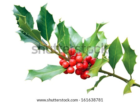 Holly tree branch with red berry fruits isolated on white background - stock photo