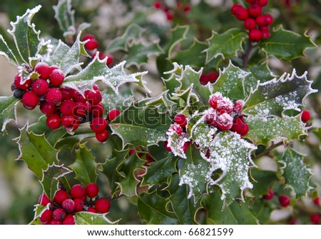 Holly with bright red berries covered in snow and ice