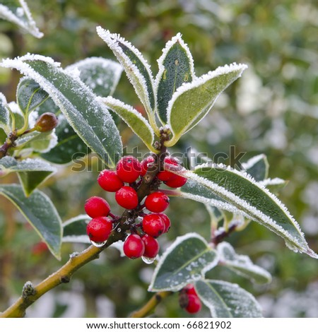 Holly with red berries covered in snow and ice - stock photo