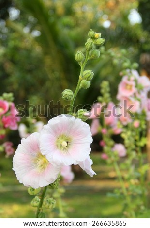 Hollyhock and Bee in the garden  - stock photo