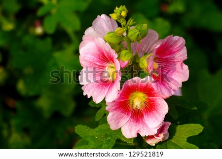 hollyhock flower - stock photo