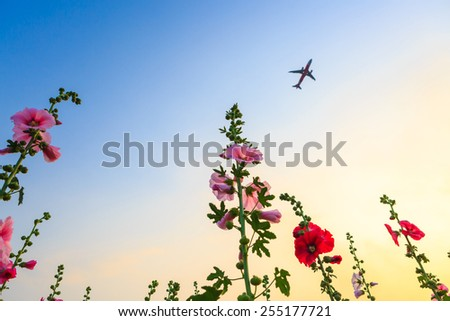 hollyhock flower garden with sunset sky and plane - stock photo