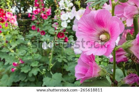 hollyhock flower in garden. - stock photo