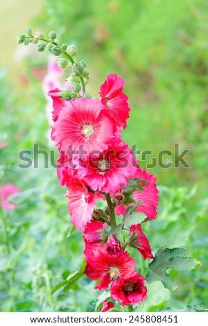 Hollyhock flower in the garden - stock photo