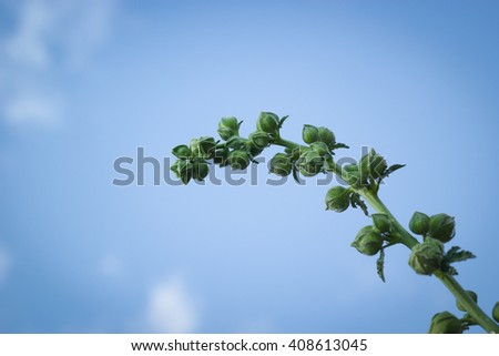hollyhock flowers bud on sky background - stock photo