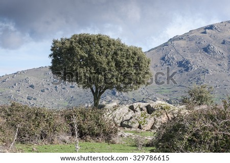 Holm Oak, Quercus ilex, growing next to a stone wall. In the background, the Cerro de San Pedro (San Pedro Peak). Photo taken in Colmenar Viejo, Madrid, Spain - stock photo