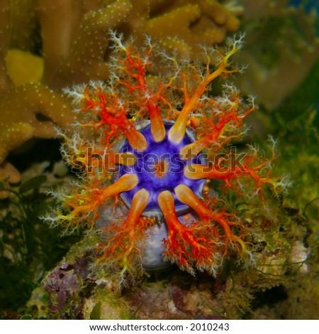Holothurian (sea cucumber) in sea aquarium - stock photo