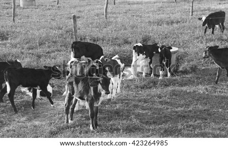 Holstein Cattle Calves in the Pasture