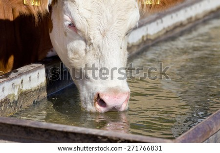 Holstein cow drinking water at reservoir on farm - stock photo