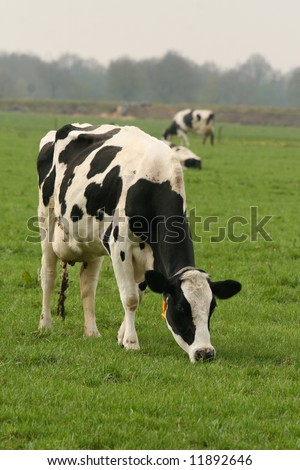 Holstein cow eating grass in the meadow - stock photo