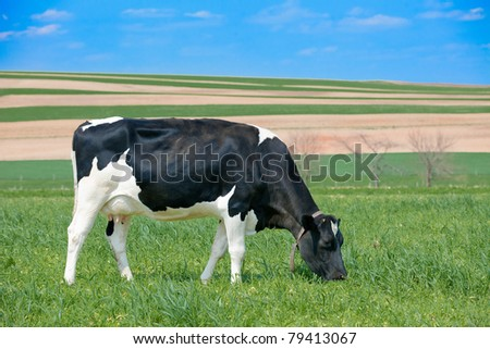 Holstein cow grazing on grass - stock photo