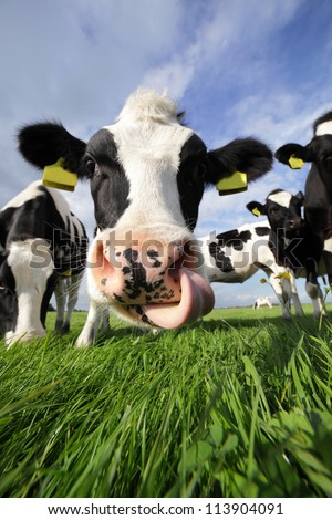 Holstein cow in a field, licking its nose - stock photo