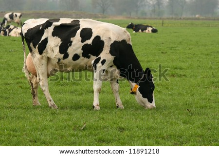 Holstein cow in the field eating grass - stock photo