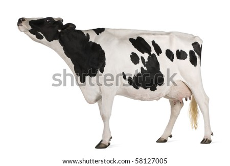Holstein cow, 5 years old, standing in front of white background - stock photo