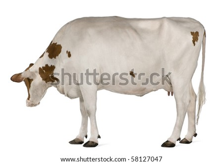 Holstein cow, 4 years old, standing in front of white background - stock photo