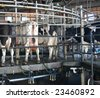 Holstein Cows after milking in a rotary dairy - stock photo