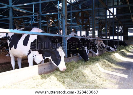 Holstein cows feeding in a cowshed - stock photo