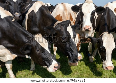 Holstein cows in the field