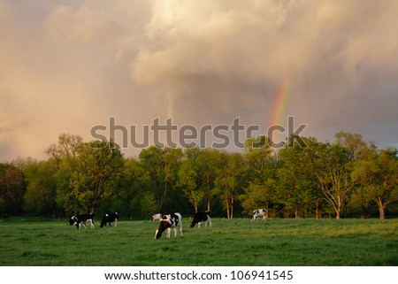 Holstein Cows in the pasture, missed by a summer storm - stock photo