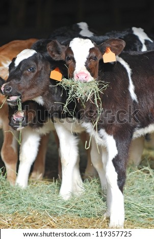 Holstein dairy calves eating hay. - stock photo