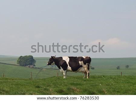Holstein dairy cow grazing in upland pasture - stock photo
