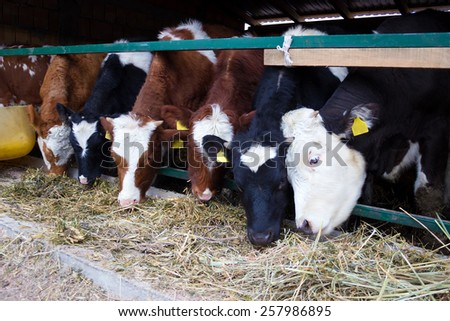 Holstein dairy cows are fed in a farm, Holstein cows, Photography - stock photo