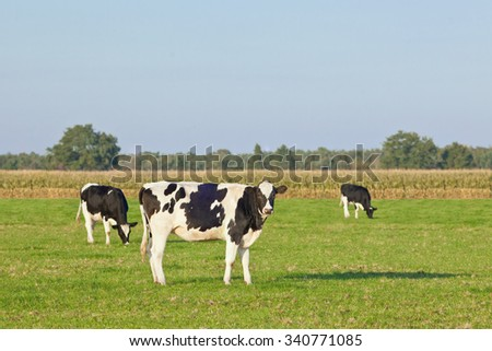 Holstein-Friesian cattle in a green meadow with a blue sky, cornfield and trees on the background, The Netherlands. - stock photo