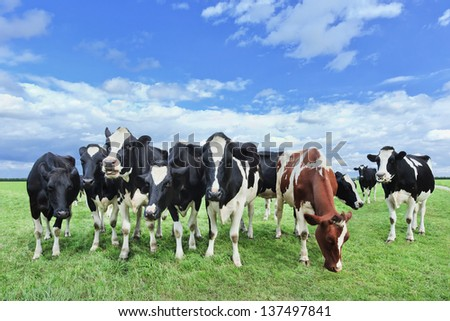 Holstein-Friesian cattle in a vast green Dutch meadow.