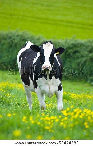Holstein/Friesian cow in a buttercup field - stock photo