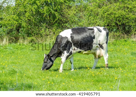 Holstein Friesian cow on green grass in the summer - stock photo